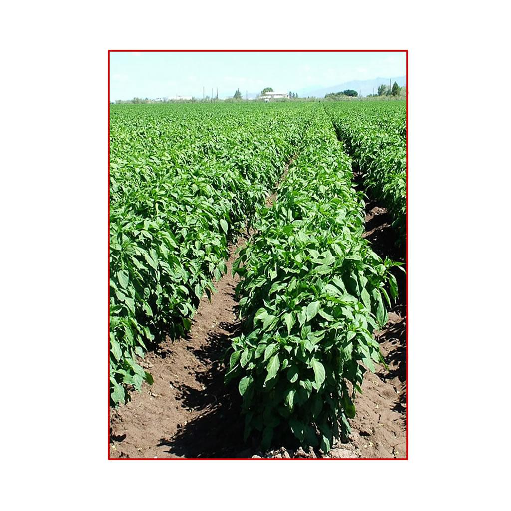 Coltivare capsicum