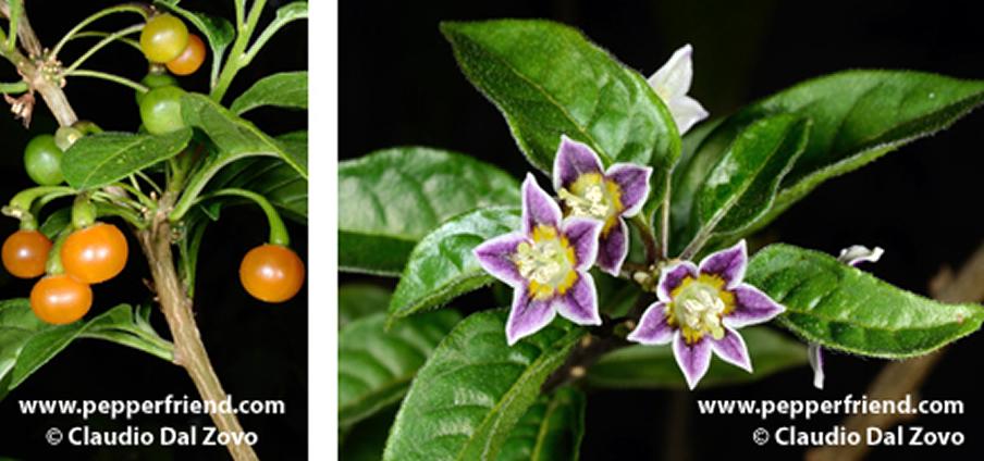 Capsicum caatingae