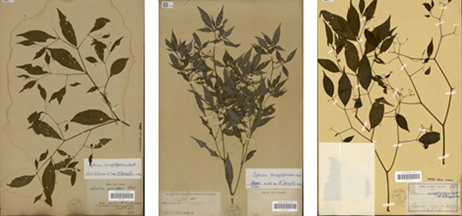 Capsicum campylopodium
