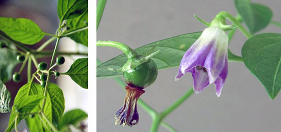 Capsicum cardenasii