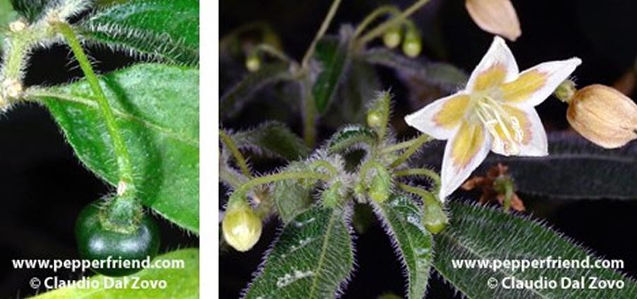 Capsicum lanceolatum