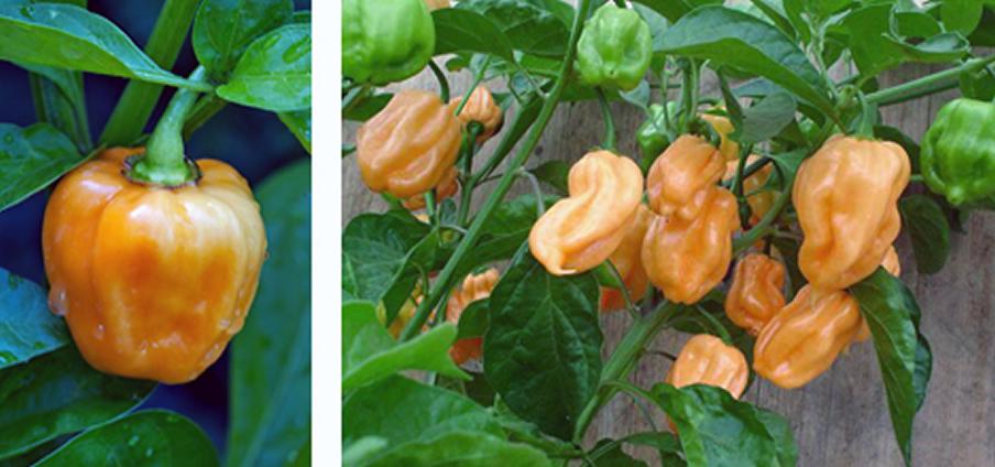 Habanero Peach - Capsicum Chinense