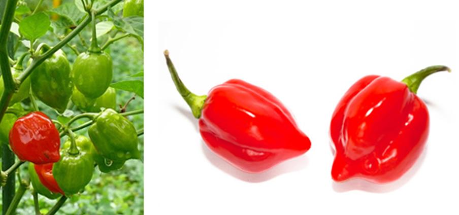 Habanero Red Savina - Capsicum Chinense