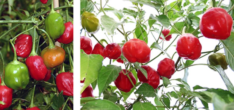 Rain Forest - Capsicum Chinense