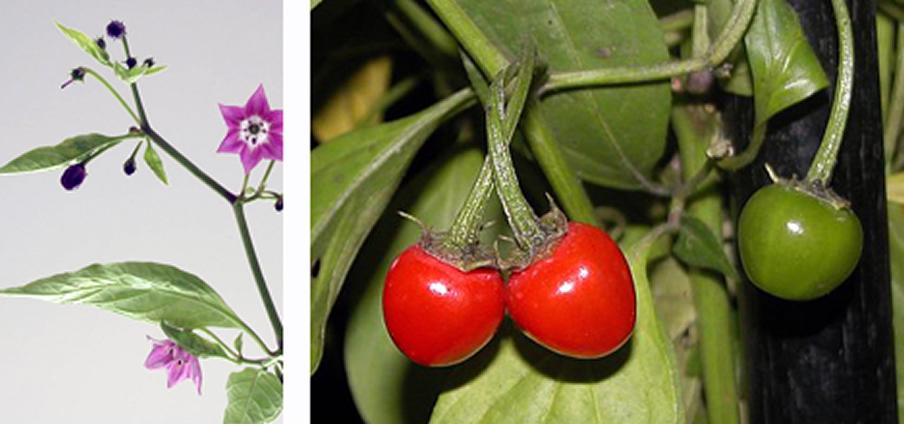 Rocopica - Capsicum Pubescens