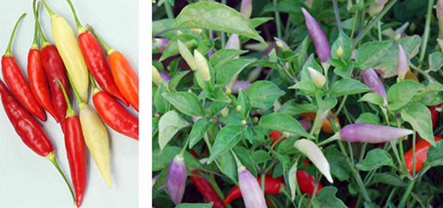 7 Aji Omnicolor - Capsicum Chinense