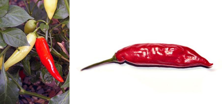 Aji Red - Capsicum Chinense