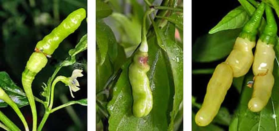 Aribibi Gusano - Capsicum Chinense