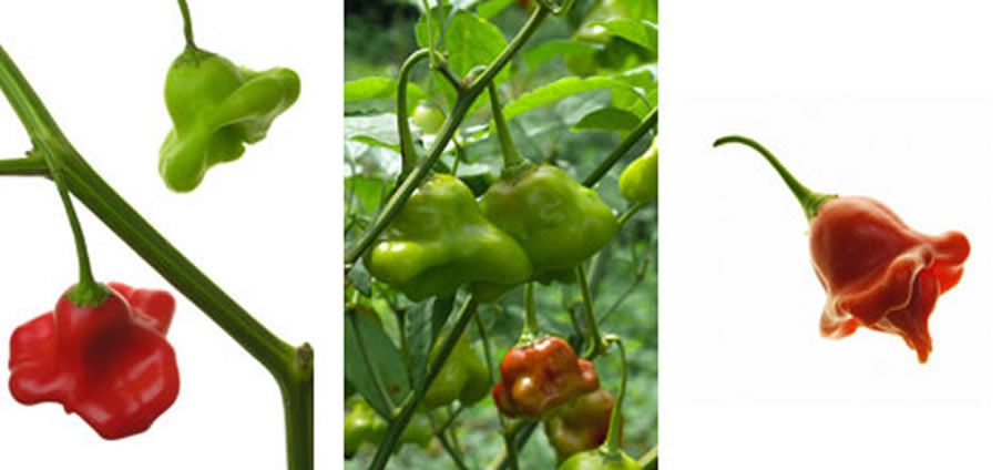 Bishop's Crown - Capsicum Chinense