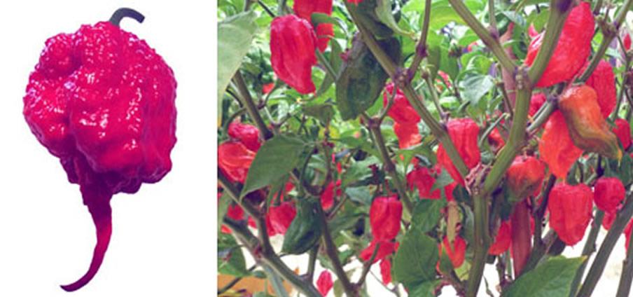 Carolina Reaper Red - Capsicum Chinense