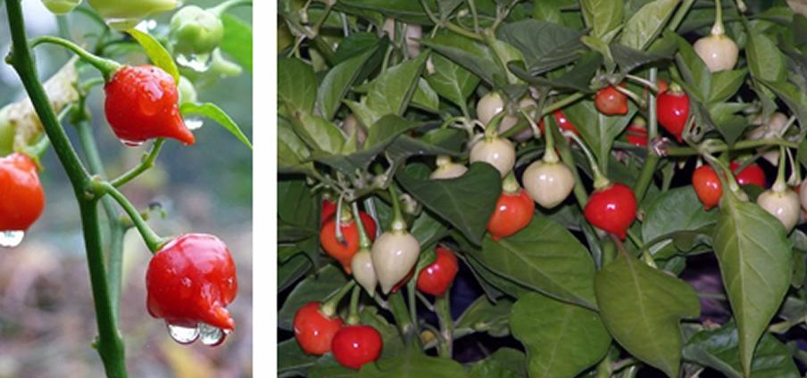 Chupetinho Red - Capsicum Chinense