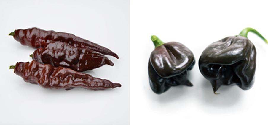 Habanero Black Stinger - Capsicum Chinense