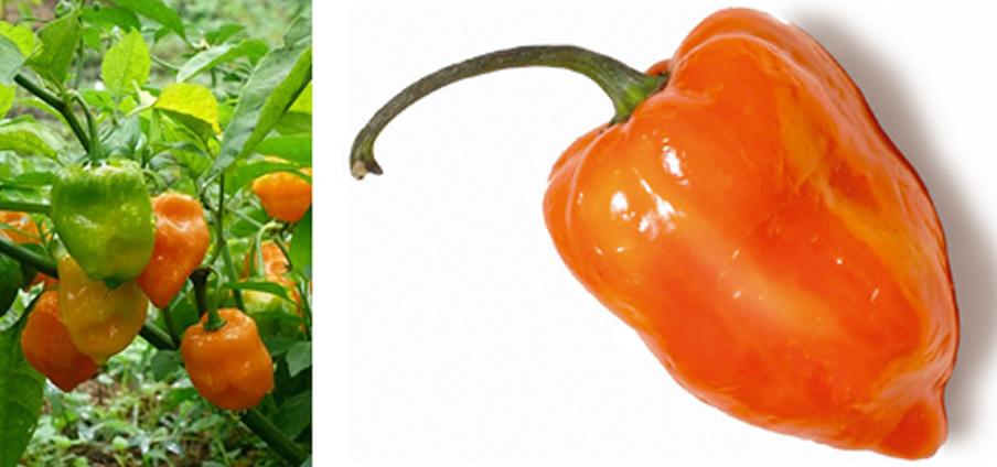 Habanero Orange - Capsicum Chinense