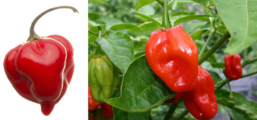 Habanero Red - Capsicum Chinense