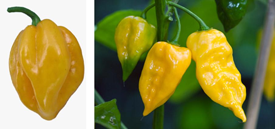 Habanero Yellow - Capsicum Chinense