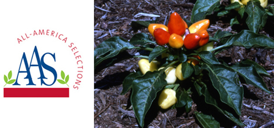 Holiday Time - Capsicum Frutescens