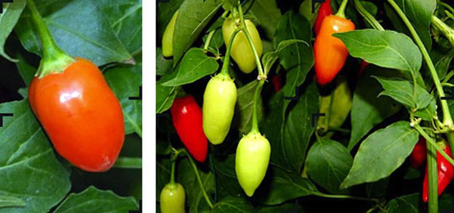 Inca - Capsicum Chinense