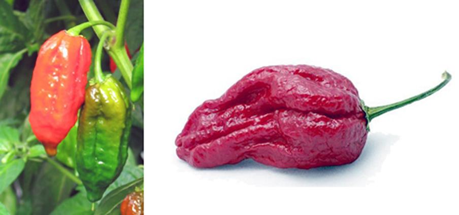 Naga Morich - Capsicum Chinense