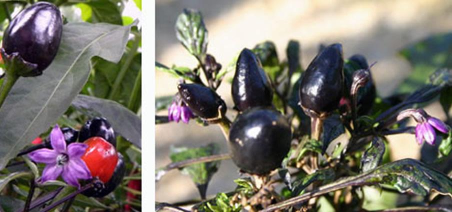 Peruvian purple - Capsicum Frutescens