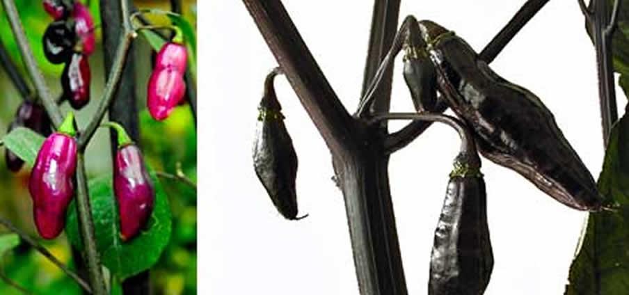 Pimenta da Neyde - Capsicum Chinense