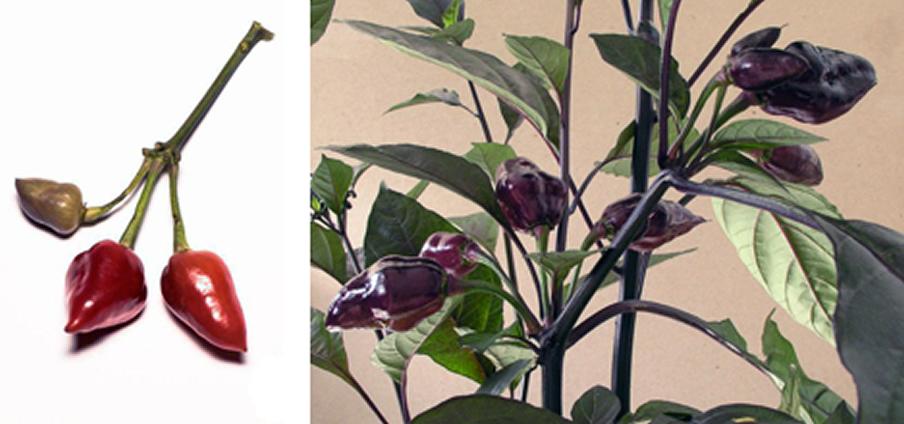 Pimenta Morango - Capsicum Chinense