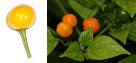 Quintisho - Capsicum Frutescens