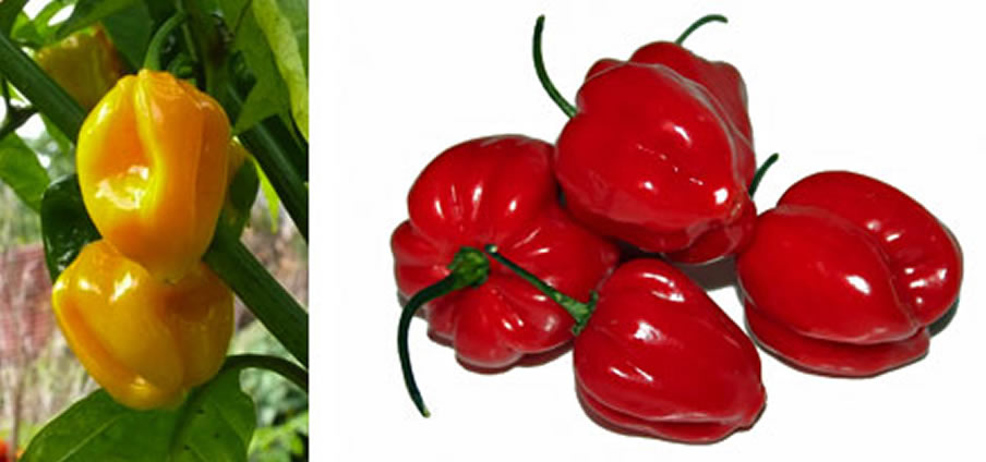Scotch Bonnet - Capsicum Frutescens