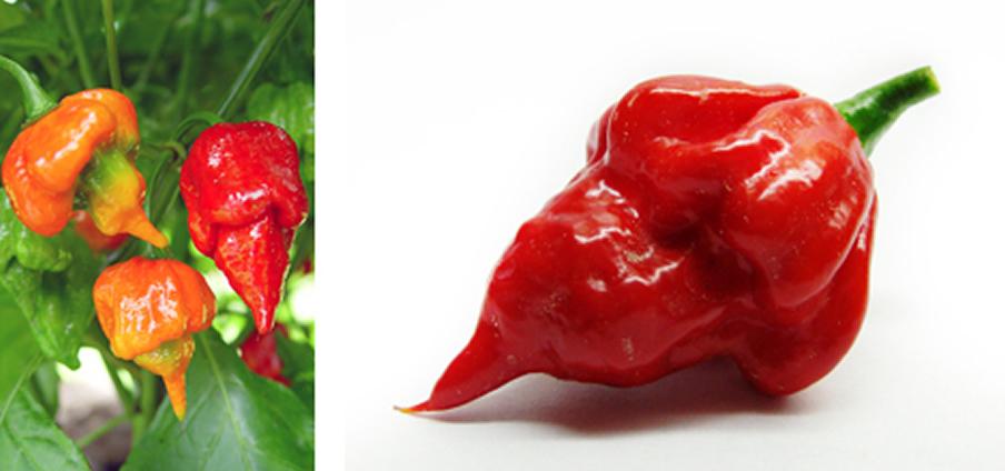 Trinidad Scorpion Bhutch - Capsicum Frutescens
