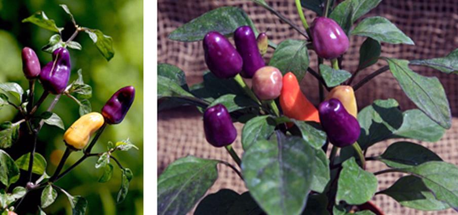Ecuadorian Purple - Capsicum Annuum