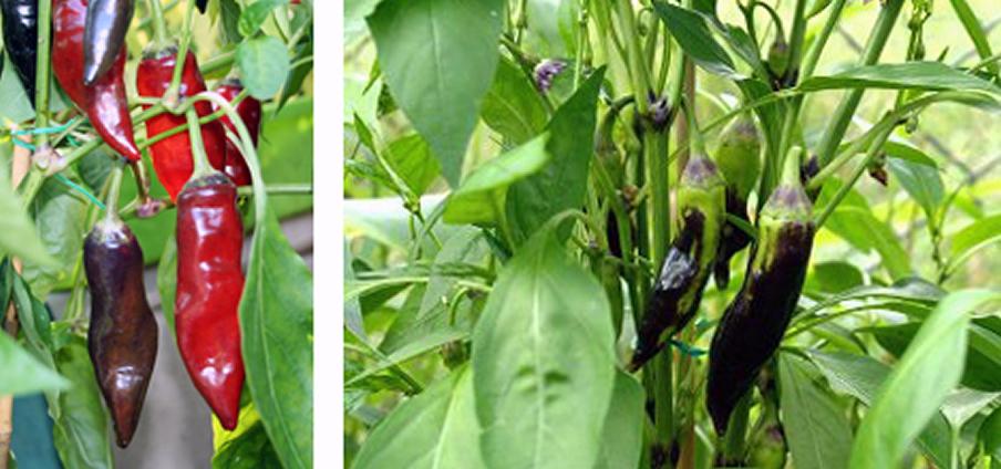 Tazmanian Black - Capsicum Annuum