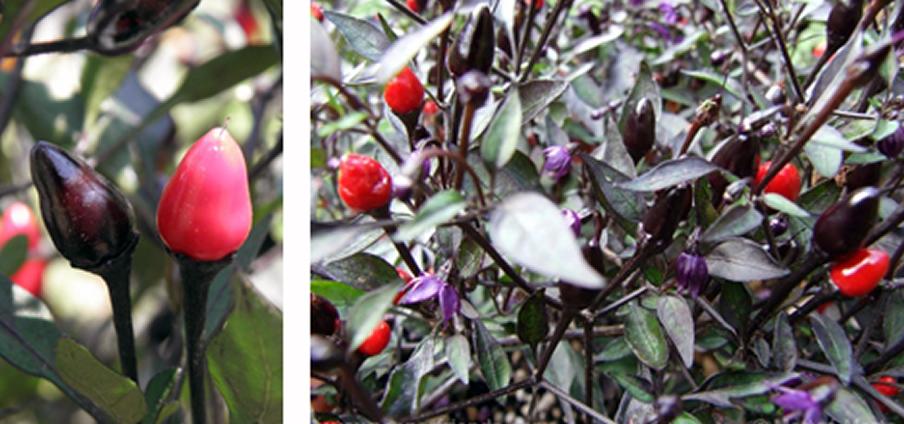 Violetta - Capsicum Annuum