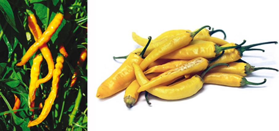 Cayenna Golden - Capsicum Annuum
