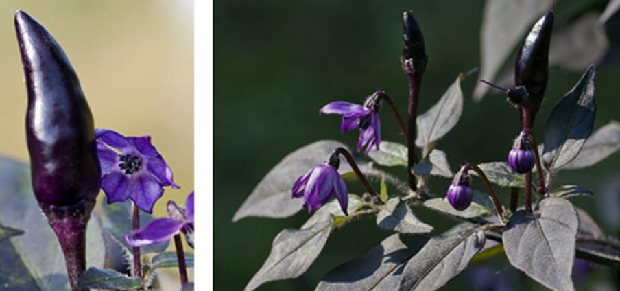 Chicanna Purple - Capsicum Annuum