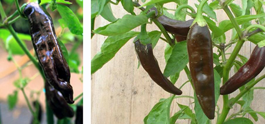Ethiopian Brown - Capsicum Annuum
