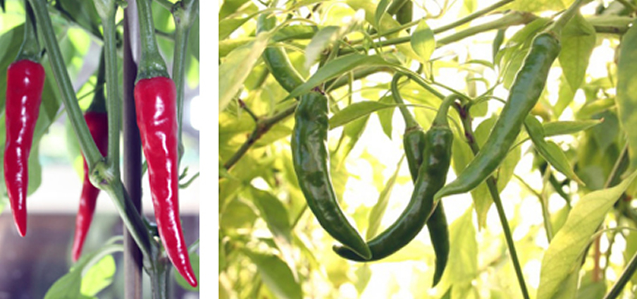 Ring of Fire - Capsicum Annuum