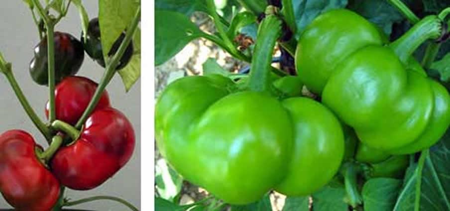 Tomato - Capsicum Annuum